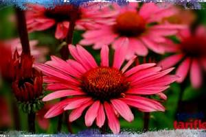 Domuz Gribine Koni Çiçeği Çayı